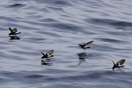 Calabash, North Carolina; Storm Petrel